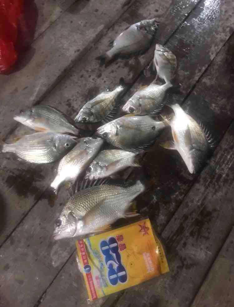 (5月23日)小桂鱼排夜水钓黄脚立