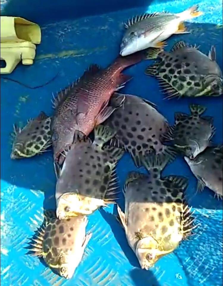 (5月24日)惠东盐洲鱼排早水收获